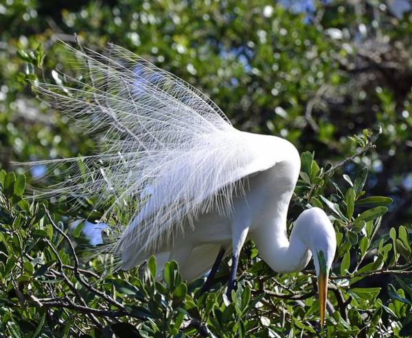 Photograph - Common Egret by Bill Hosford