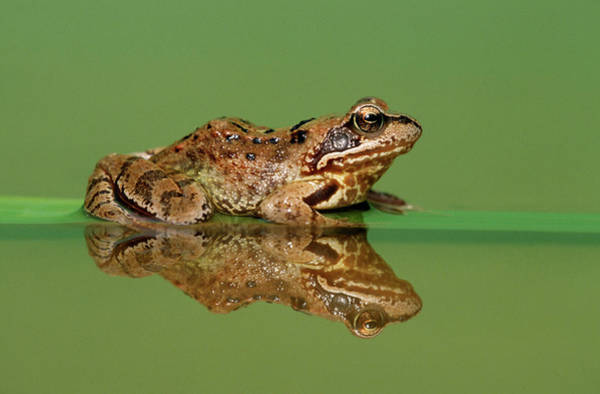 Photograph - Common Frog Rana Temporaria by Ingo Arndt