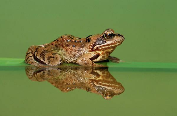 Photograph - Common Frog Rana Temporaria by Ingo Arndt
