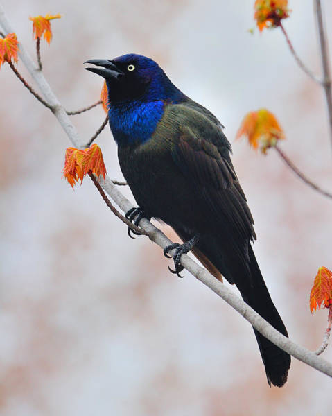 Photograph - Common Grackle by Tony Beck