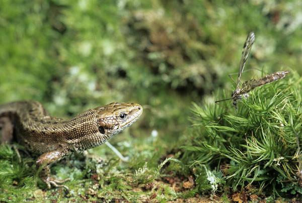 Daddy Long Legs Photograph - Common Lizard by David Aubrey