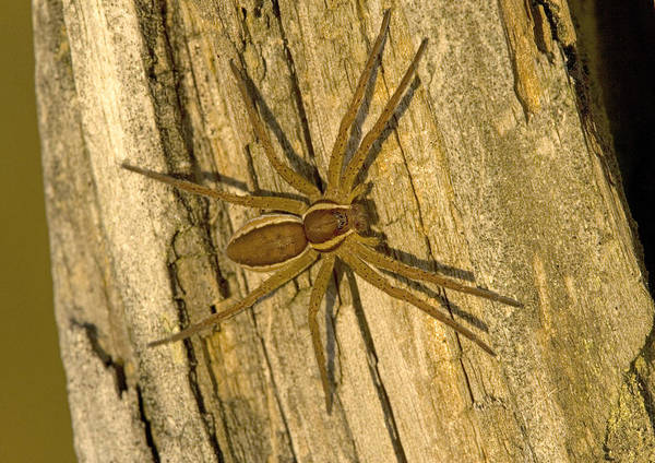 Spider Rock Photograph - Common Raft Spider by Bob Gibbons