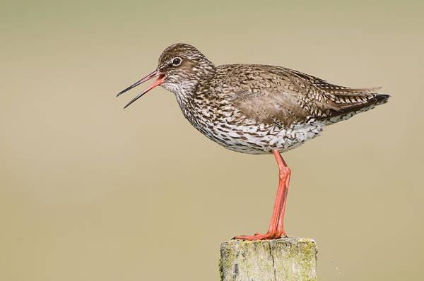 Scolopacidae Photograph - Common Redshank Tringa Totanus Calling by Marcel van Kammen