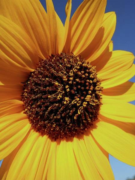Photograph - Common Sunflower Close Up by Don Kreuter
