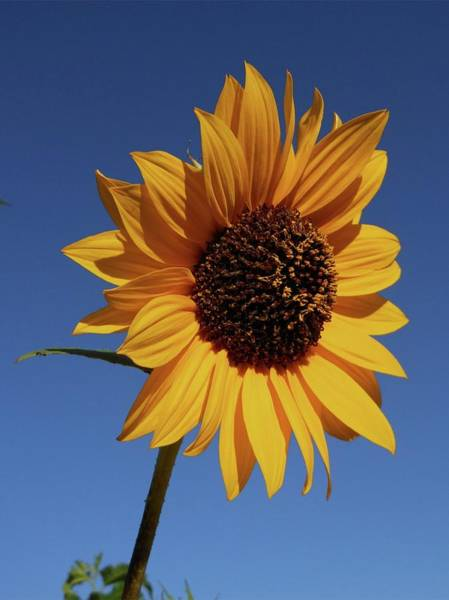 Photograph - Common Sunflower by Don Kreuter