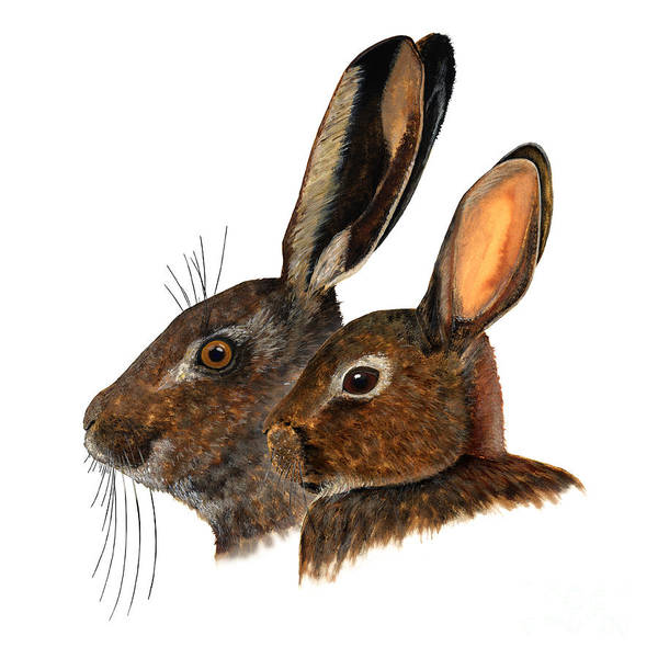 Painting - Comparison Hare Rabbit Ears - Oryctolagus Cuniculus - Genus Lepus - Vergleich Hase Kaninchen Ohren by Urft Valley Art
