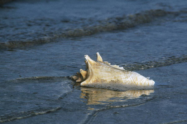 Photograph - Conch Shell by Granger