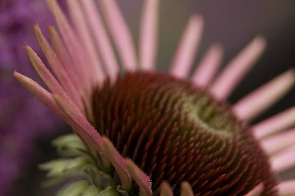 Photograph - Cone Flower Studies 2012 by Margaret Denny