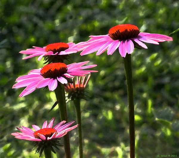 Coneflower Echinacea Purpurea Art Print