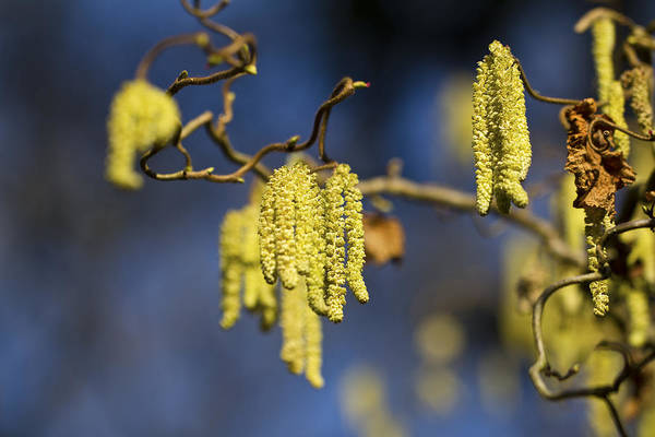 Photograph - Contorted Hazel Catkins by Clare Bambers