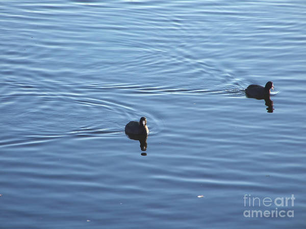 Photograph - Coots Distraction Photograph by Kristen Fox