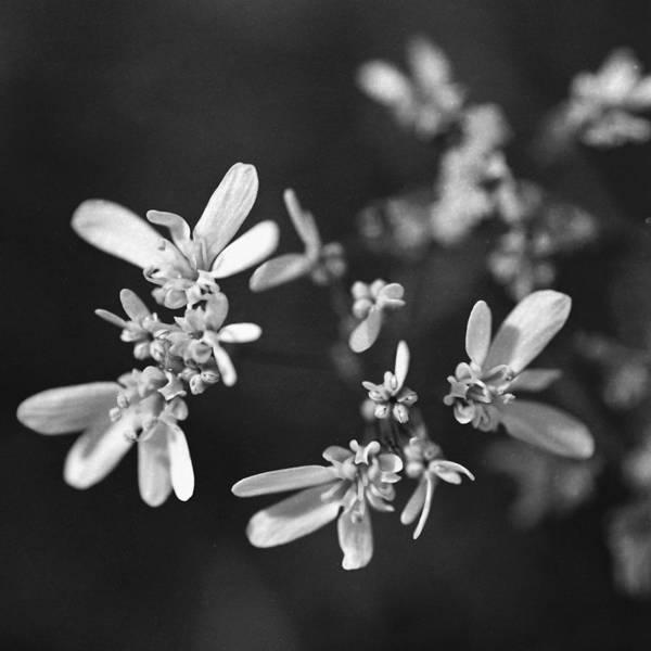 Photograph - Coriander Flowers. by Paul Cowan