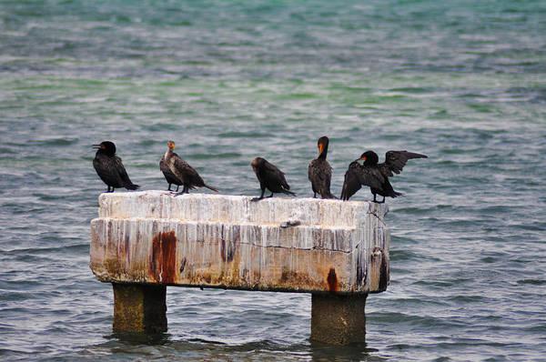 Photograph - Cormorants Key West by Bill Cannon