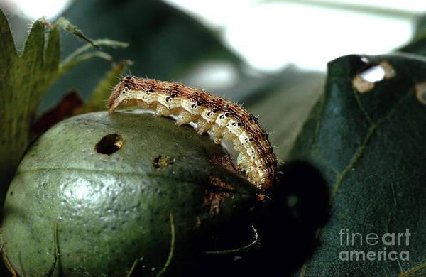 Corn Earworm Wall Art - Photograph - Corn Earworm by Science Source