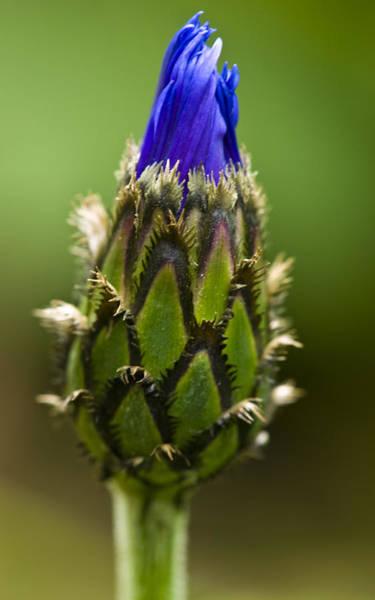 Photograph - Cornflower Bud by Rob Hemphill