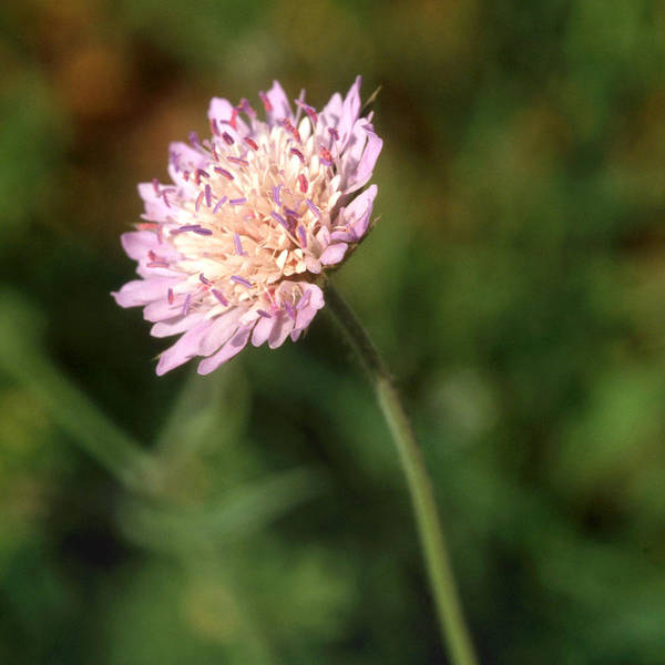 Photograph - Cornflower Cyanus Segatum by Paul Cowan