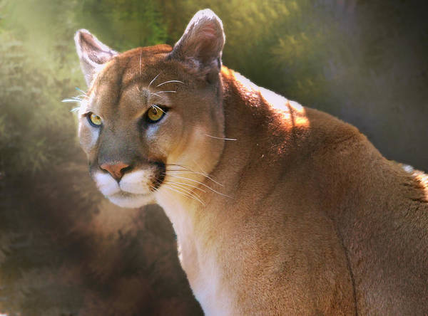 Digital Art - Cougar by Mary Almond