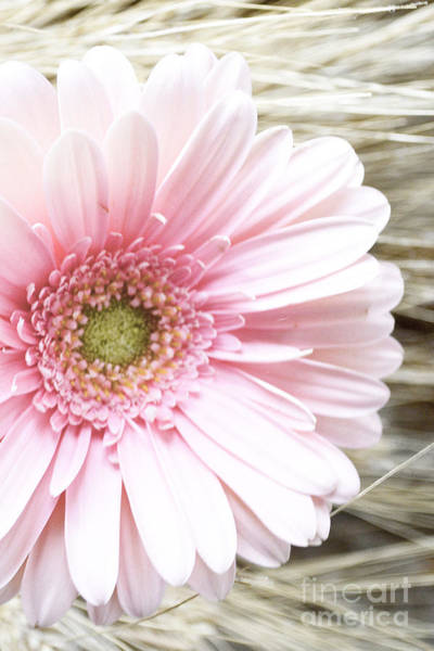 Photograph - Country Pink by Traci Cottingham
