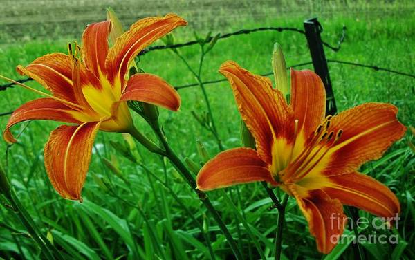 Tigerlily Wall Art - Photograph - Country Tigerlilies by Marsha Heiken