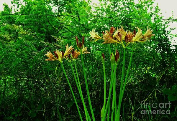 Wire Wrap Photograph - Country Yellow Lilies by Marsha Heiken