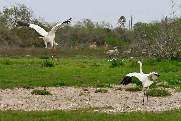 Whooping Cranes Photograph - Courtship With Audience by Sally Mitchell