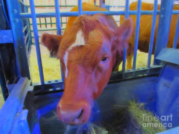 Photograph - Cow Eating Hay by Donna L Munro