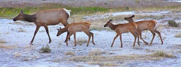 Wapiti Photograph - Cow Elk And Three Calves by Karon Melillo DeVega