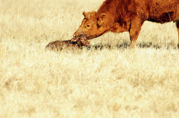 Wall Art - Photograph - Cow Smelling Newborn Calf by ©Debbie Prediger Photography