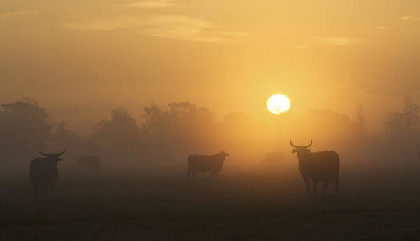Blye Photograph - Cow Sunrise by Kenneth Blye
