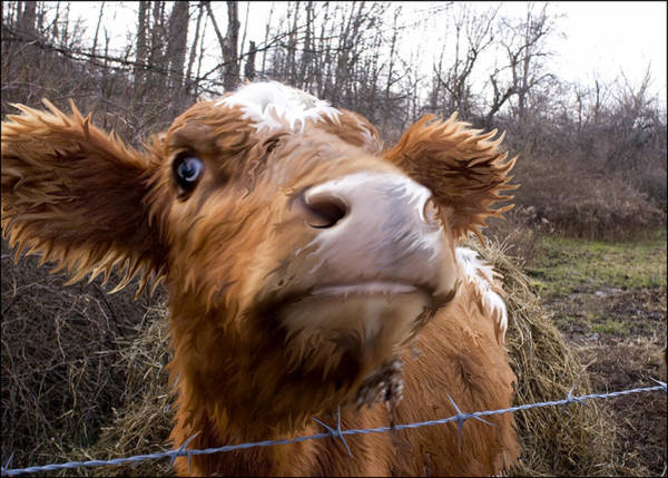 Liquify Photograph - Cowplay by Matt Romano