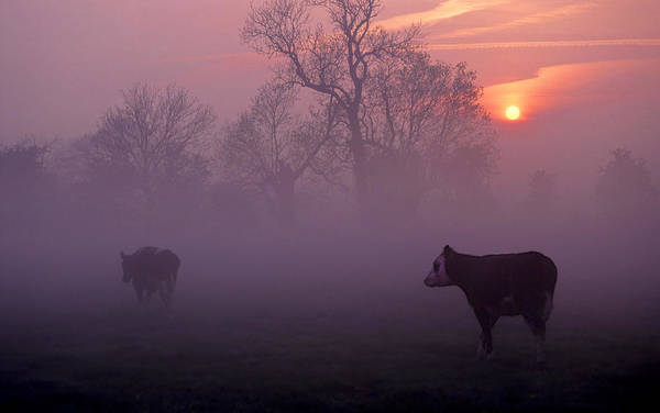 Cows At Sunrise Art Print