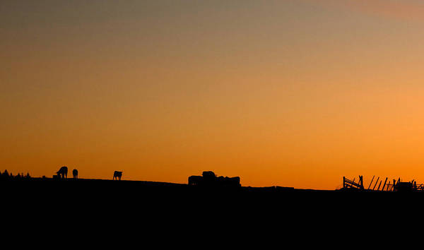 Farmstead Photograph - Cows by Cale Best