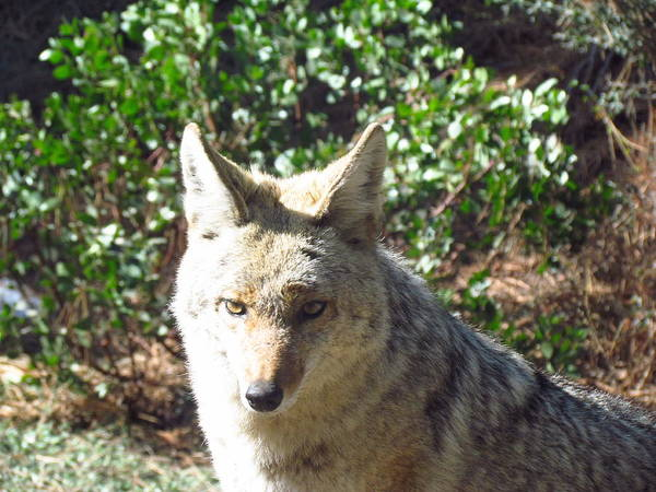 Photograph - Coyote 1 by Tony and Kristi Middleton