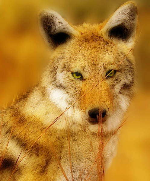 Photograph - Coyote Pretty by Frank Vargo