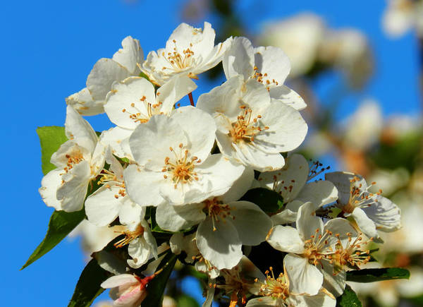 Photograph - Crab Apple Blossom Macro 001 by Lance Vaughn