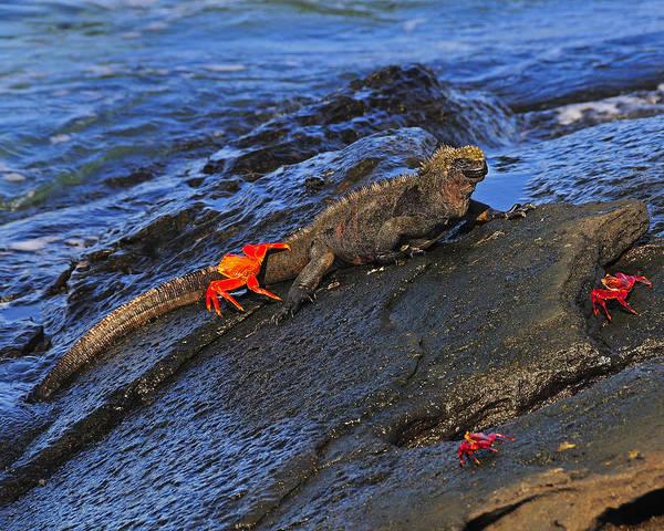 Photograph - Crabby Marine Iguana  by Tony Beck