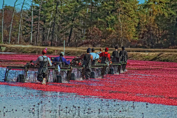 Photograph - Cranberry Harvest Workers by Tom Singleton