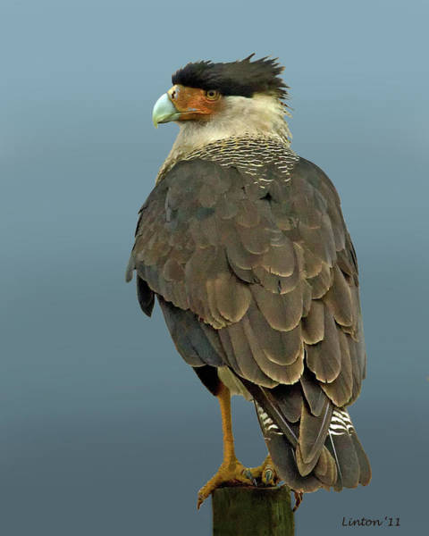 Photograph - Crested Caracara 3 by Larry Linton