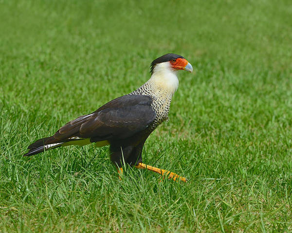 Photograph - Crested Caracara by Tony Beck