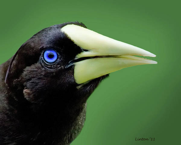 Photograph - Crested Oropendola  by Larry Linton