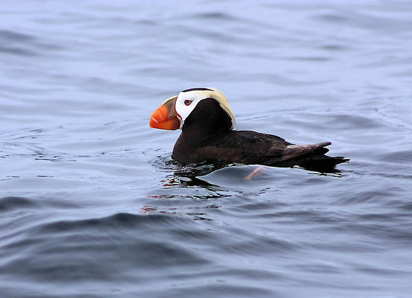 Photograph - Crested Puffin by Kristin Elmquist