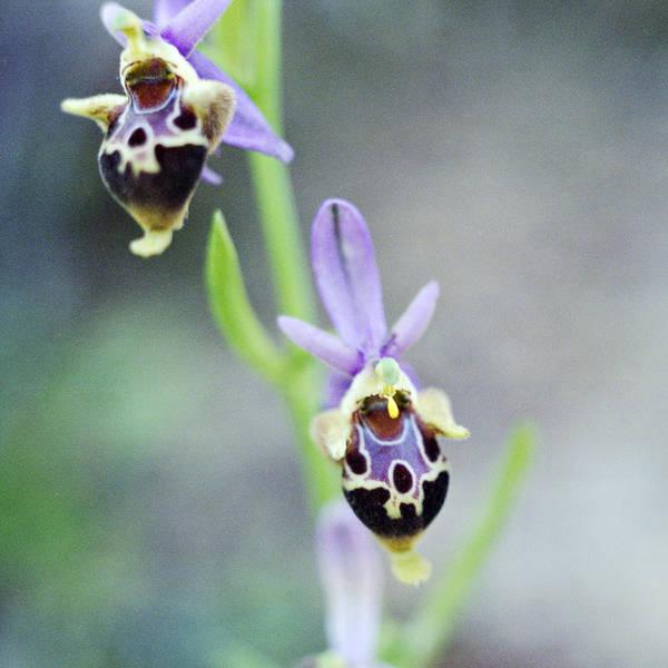 Photograph - Cretan Ladybird Orchid  by Paul Cowan