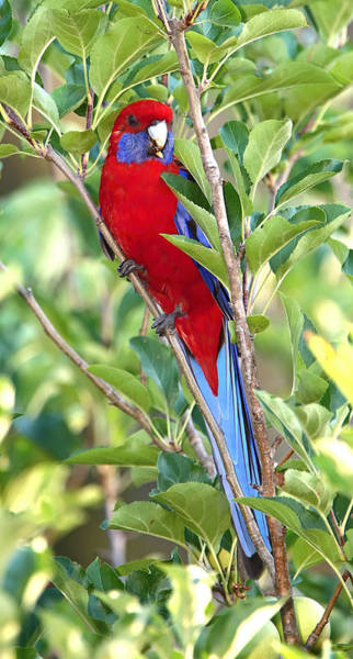 Photograph - Crimson Rosella Perched by Paul Svensen