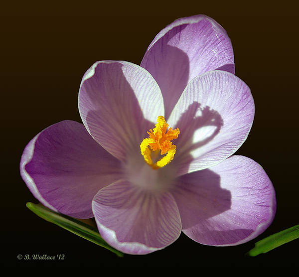 Sfx Photograph - Crocus In Full Bloom by Brian Wallace
