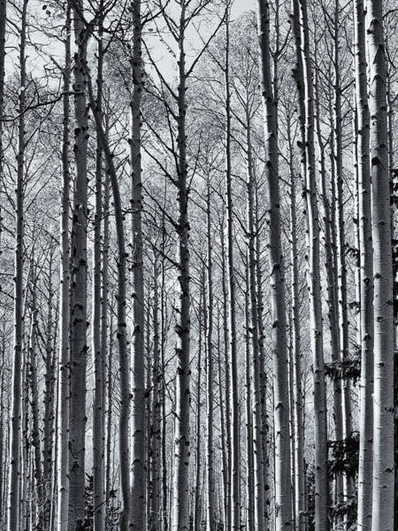 Photograph - Crowd Of Aspens by Joshua House