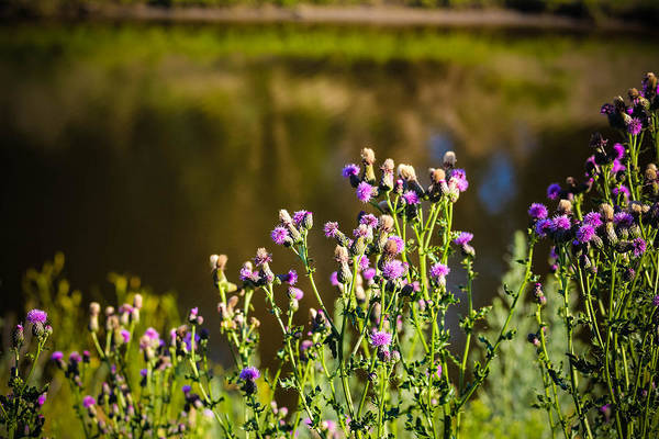 Christy Photograph - Crowd Of Purple Thistles by Christy Patino