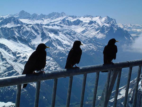 Crows On Top Of Mount Titlis Switzerland Art Print