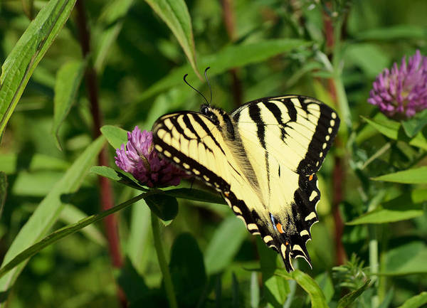 Swallowtail Photograph - Cruising In The Clover by Susan Capuano