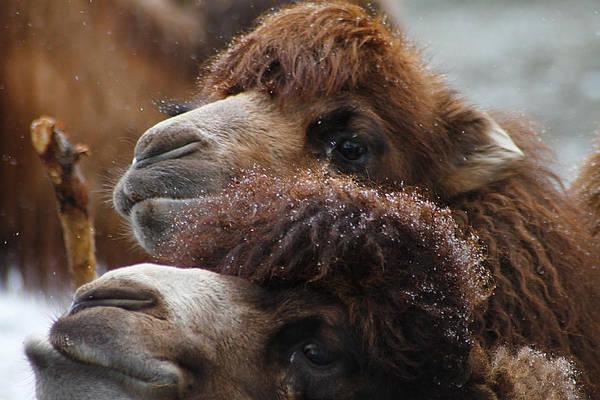 Photograph - Curious Camels by Scott Hovind