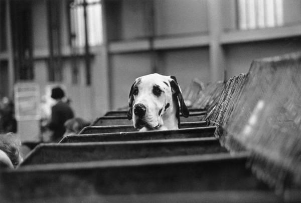 1976 Photograph - Curious Hound by Evening Standard